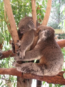 Pet the koalas at Caversham Wildlife Park