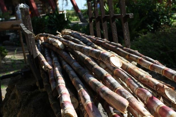 cuba sugarcane guama