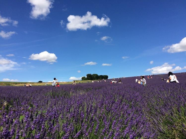 lavender field london