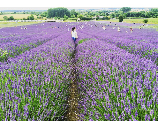 hitchin lavender field hertfordshire
